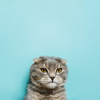 Retrato, de, escocês, dobra, gato