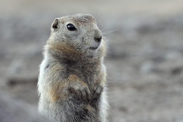 Retrato de esquilo à terra do ártico. curioso animal selvagem do gênero de roedores de médio porte da família do esquilo. península de kamchatka, extremo oriente russo, eurásia.