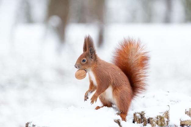 Retrato de esquilos close-up em um fundo de neve branca