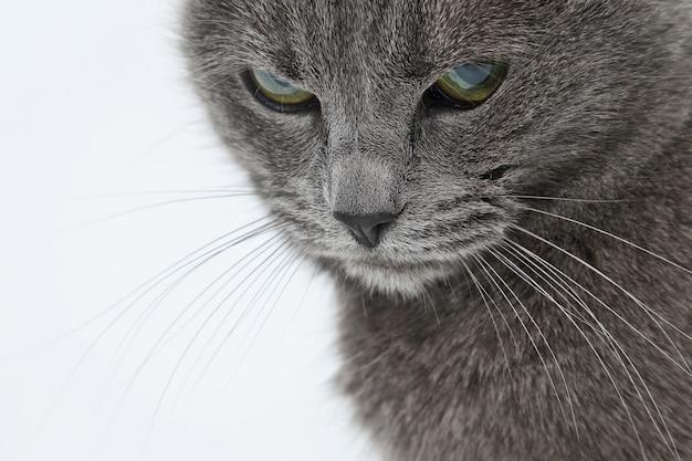 Retrato de estúdio de um lindo gato cinza em fundo branco