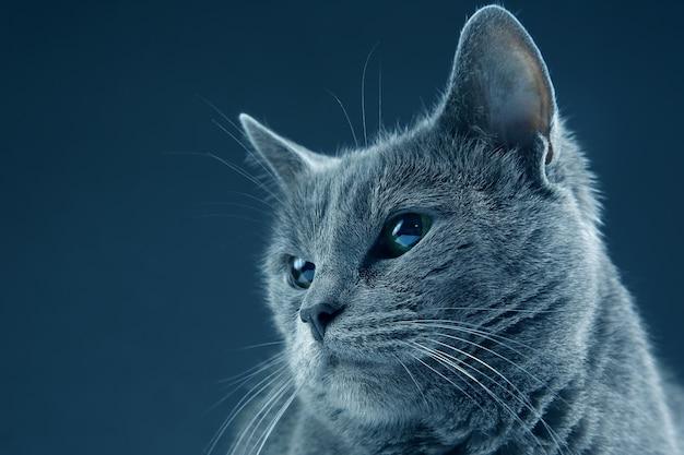 Retrato de estúdio de um lindo gato cinza em fundo escuro