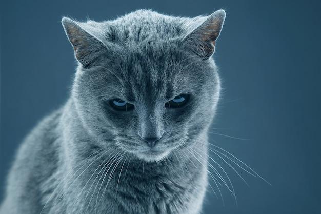 Retrato de estúdio de um lindo gato cinza em uma superfície escura