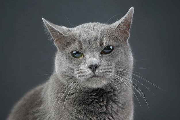 Retrato de estúdio de um lindo gato cinza no escuro