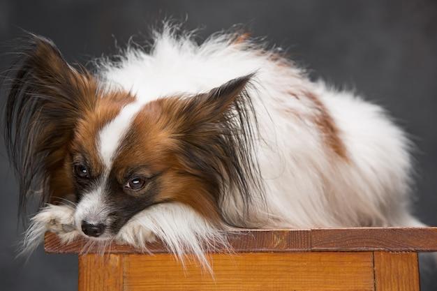 Retrato de estúdio de um pequeno cachorro bocejando papillon