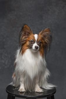 Retrato de estúdio de um pequeno cachorro bocejando