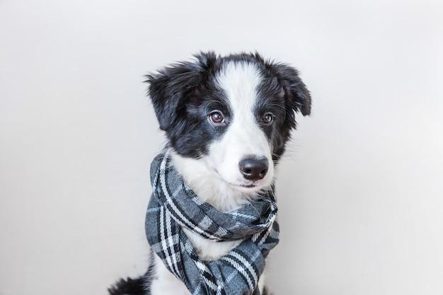 Retrato de estúdio engraçado do filhote de cachorro sorridente fofo border collie usando lenço de roupa quente em volta do pescoço isolado no fundo branco retrato de inverno ou outono de um novo e adorável membro da família.