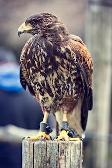 Retrato de falcão buteo