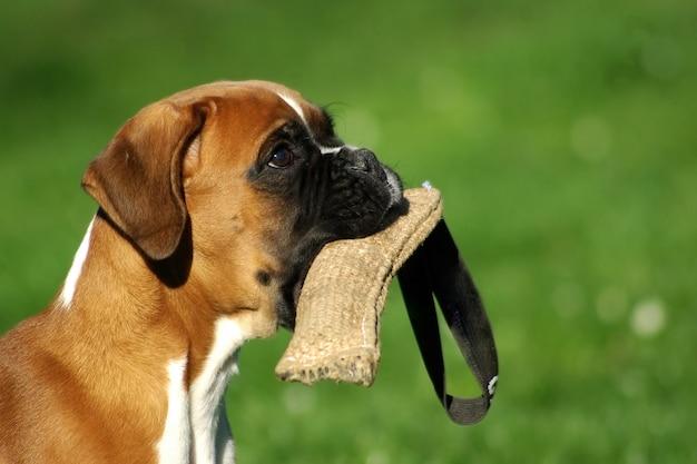 Retrato, de, filhote cachorro filhote cachorro raça, boxer