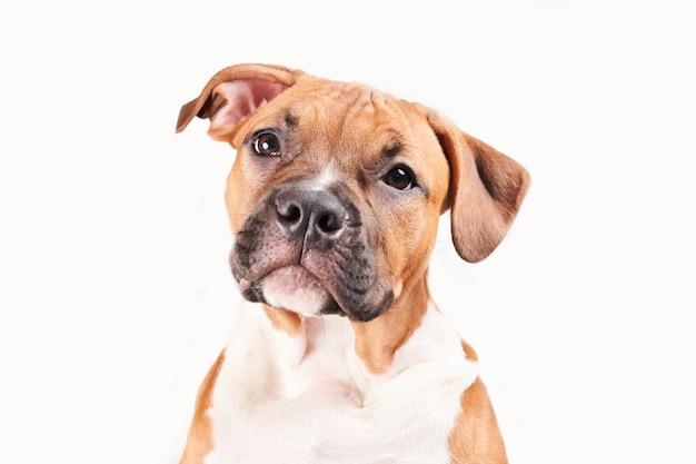 Retrato de filhote de cachorro staffordshire terrier americano isolado no fundo branco. close focinho de cachorro em estúdio