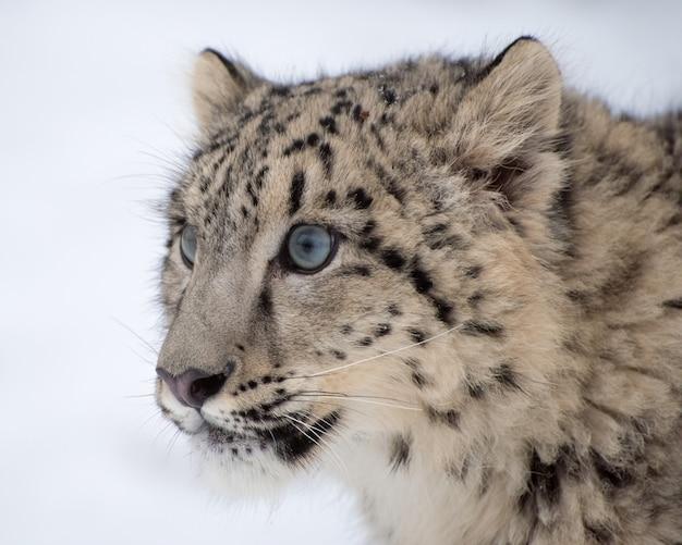 Retrato de filhote de leopardo da neve em fundo branco isolado