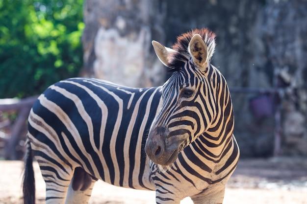 Retrato de fundo natural de zebra