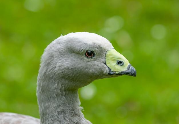 Retrato de ganso cinza
