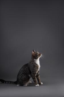 Retrato de gatinho cinza em fundo cinza no estúdio