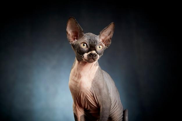 Retrato de gatinho sphynx