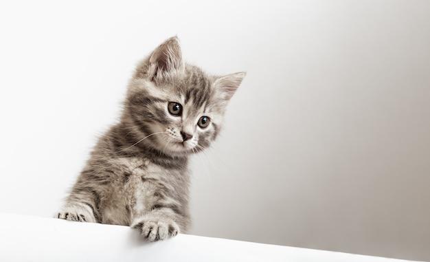 Retrato de gatinho surpreso com patas espreitando sobre a placa de sinalização em branco, olhe para baixo a placa do estandarte do gato