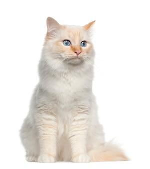 Retrato de gato birman