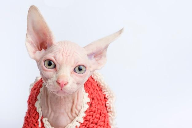 Retrato de gato careca sphynx. gatinho de shorthair dois meses velho no fundo branco. vista closeup