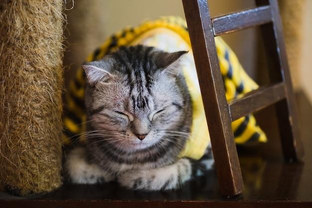 Retrato de gato cinza dormindo.