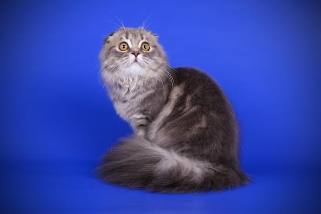 Retrato de gato de montanha em parede colorida
