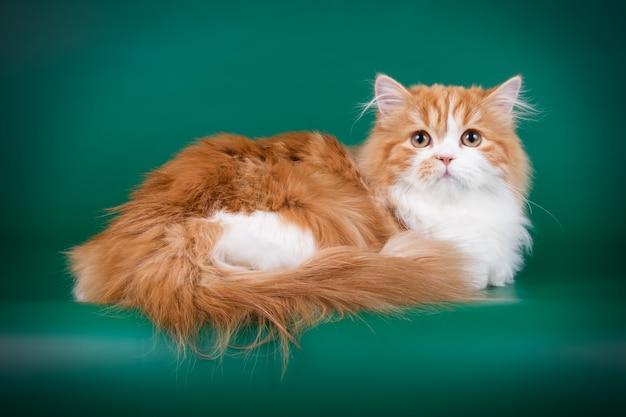 Retrato de gato hetero das montanhas em parede colorida