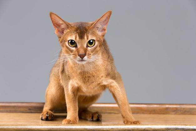 Retrato de gato jovem abissínio puro-sangue