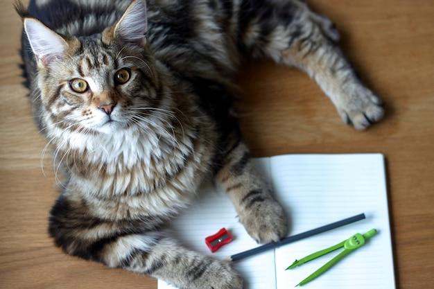 Retrato de gato maine coon