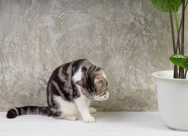 Retrato de gato na mesa de madeira com plantas caseiras de purificação de ar caladium bicolor vent, araceae, asas de anjo, orelha de eelphant em fundo de parede de cimento branco