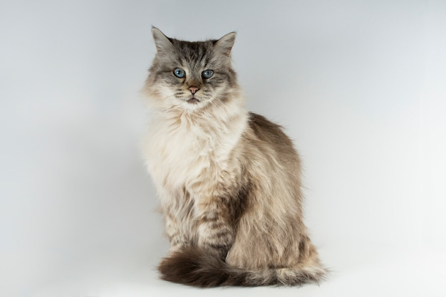 Retrato de gato ragdoll