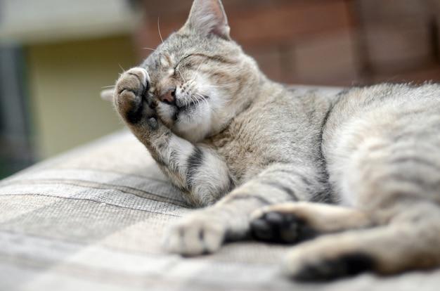 Retrato de gato tigrado sentado e lambendo a pata
