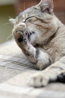 Retrato de gato tigrado sentado e lambendo o cabelo ao ar livre e encontra-se no sofá marrom