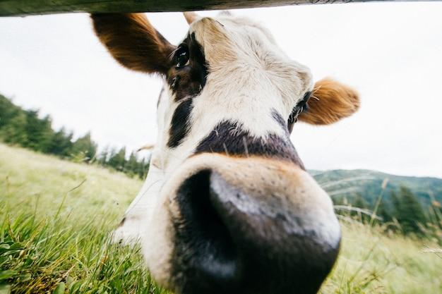 Retrato de grande angular de vaca pastando no campo de verão.