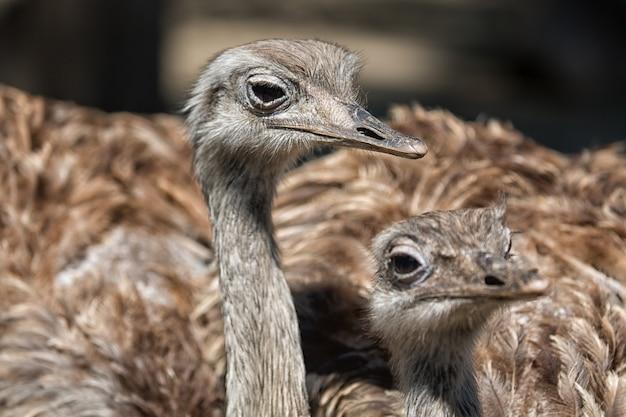 Retrato de grupo de avestruz africano close-up, foco seletivo