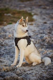 Retrato de husky siberiano. belo jovem macho ao ar livre. floresta e montanhas