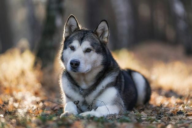 Retrato de husky siberiano de raça feliz e bonito cão sentado na colina da floresta