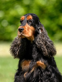 Retrato, de, inglês, cocker spaniel, cão