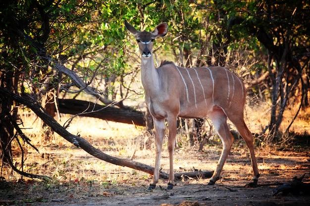 Retrato de kudu