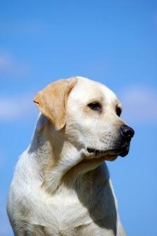 Retrato, de, labrador, cão