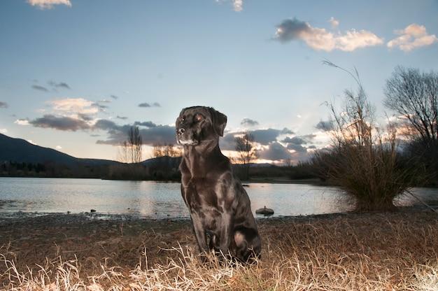 Retrato de labrador preto à noite tomada pelo sol poente