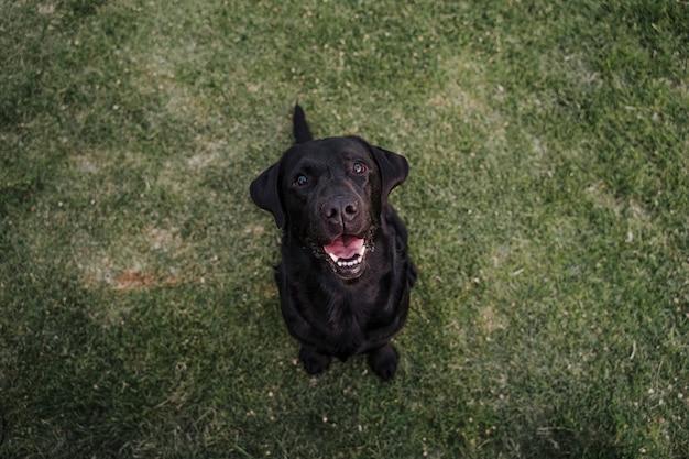 Retrato de labrador preto lindo sentado na grama em um parque