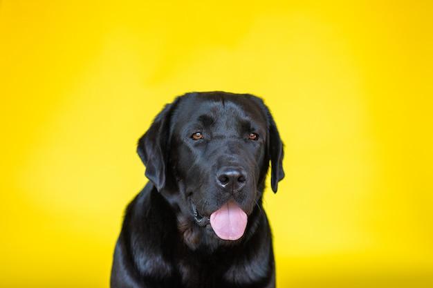 Retrato de labrador retriever preto sobre fundo amarelo