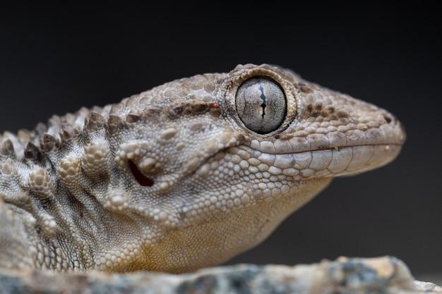 Retrato de lagartixa comum (tarentola mauritanica)
