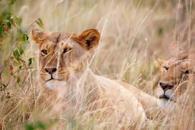 Retrato de leoa no parque nacional masai mara, no quênia. animais selvagens.