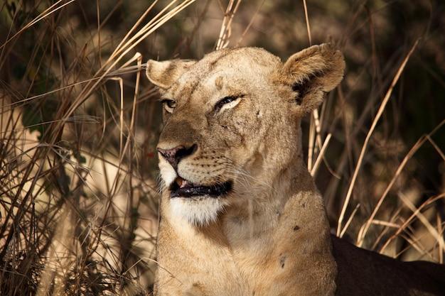 Retrato de leoa resta na sombra