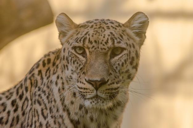 Retrato de leopardo à procura de seu filhote com fundo laranja