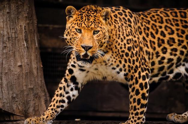 Retrato de leopardo com olhos intensos e pantera negra