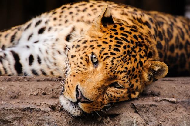 Retrato de leopardo com olhos intensos