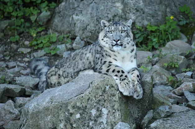 Retrato de leopardo da neve em uma luz incrível