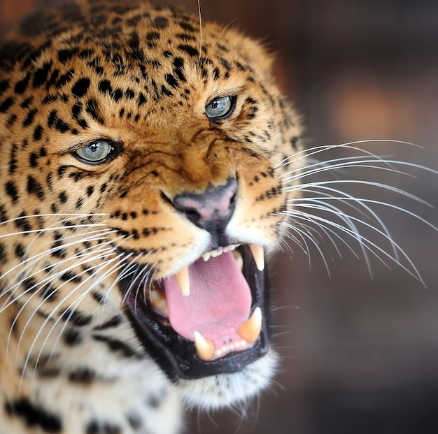 Retrato de leopardo em fundo escuro