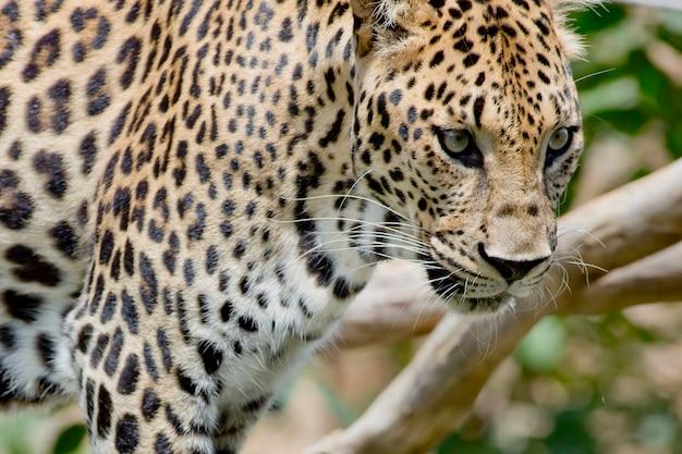Retrato de leopardo na floresta