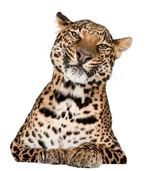 Retrato de leopardo, panthera pardus, em pé